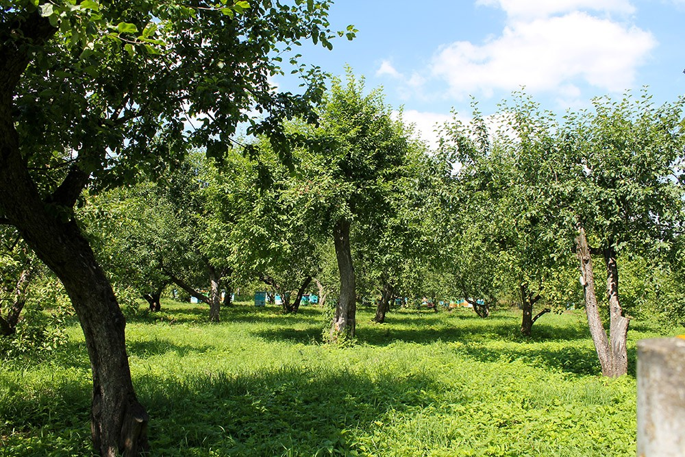 Яблоневый сад Ясная Поляна